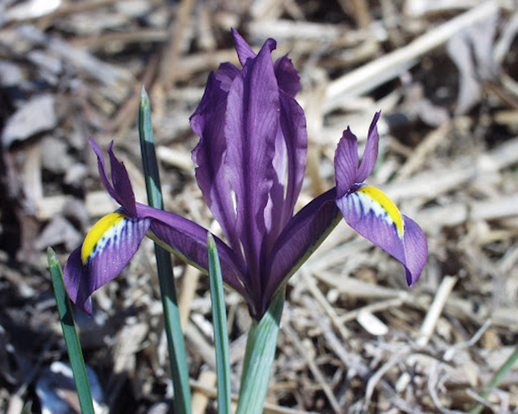 Wild iris reticulata with purple flower marked yellow and white.