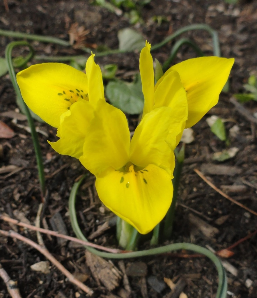 Iris danfordiae, Single sulfur yellow flower with dark green marks.