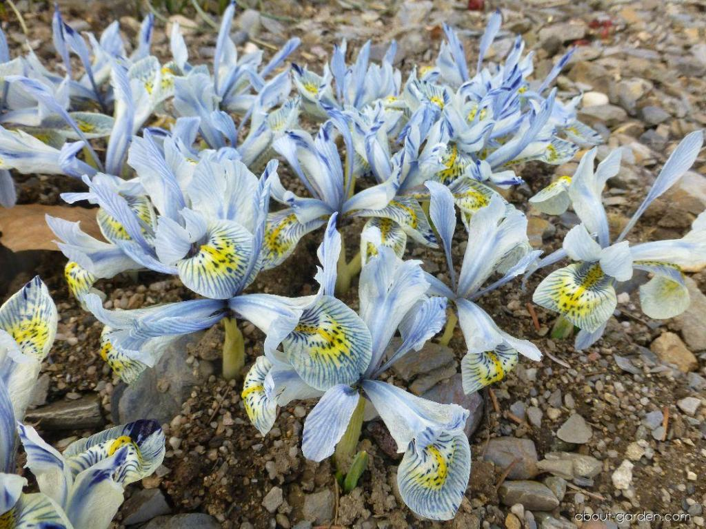 Iris 'Katharine Hodgkin' many flowers, pale blue, blue stripes, dark blue spots on yellow mark.