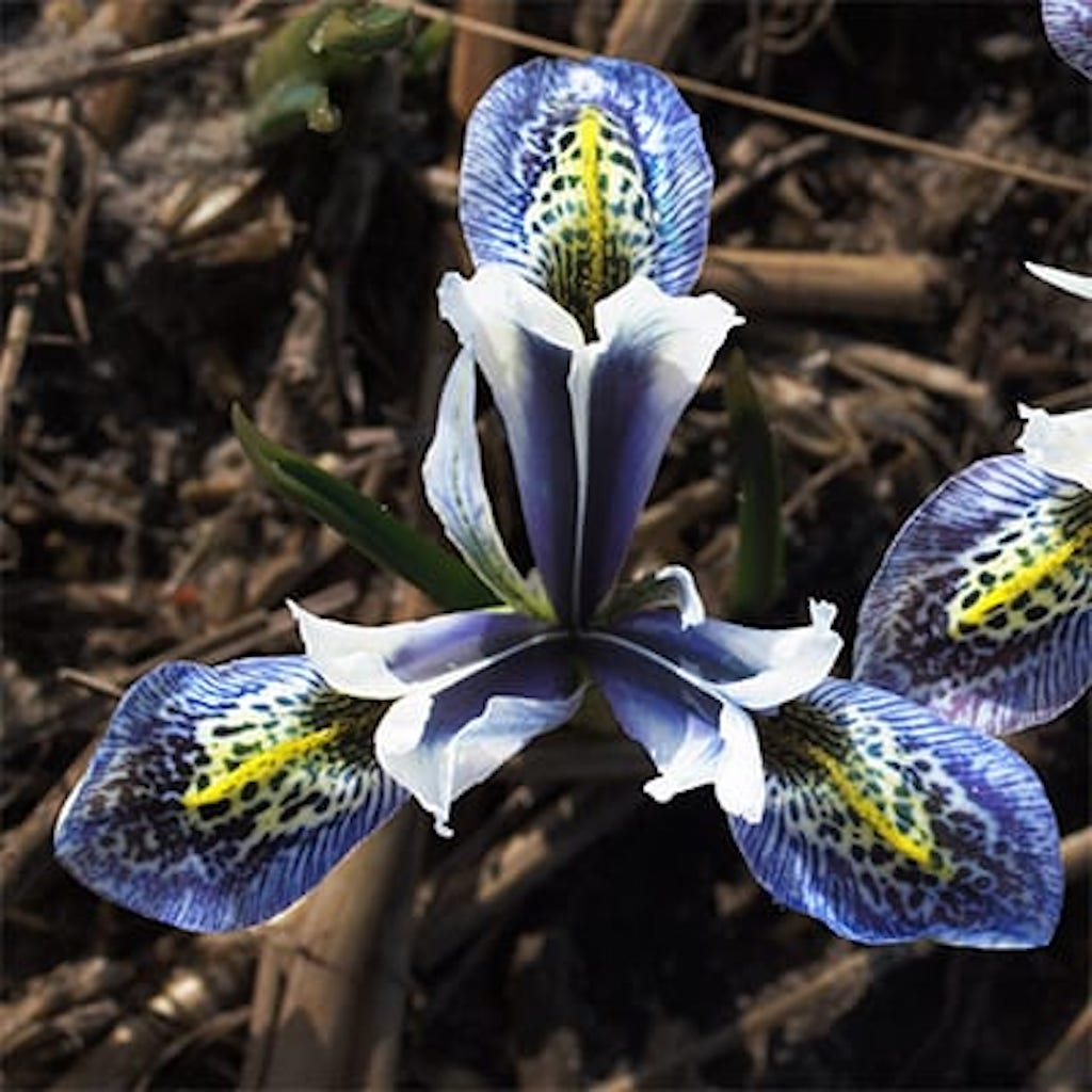 Iris Splish Splash. Deep blue flower with white highlights, falls striped and dotted blue, yellow stripe.