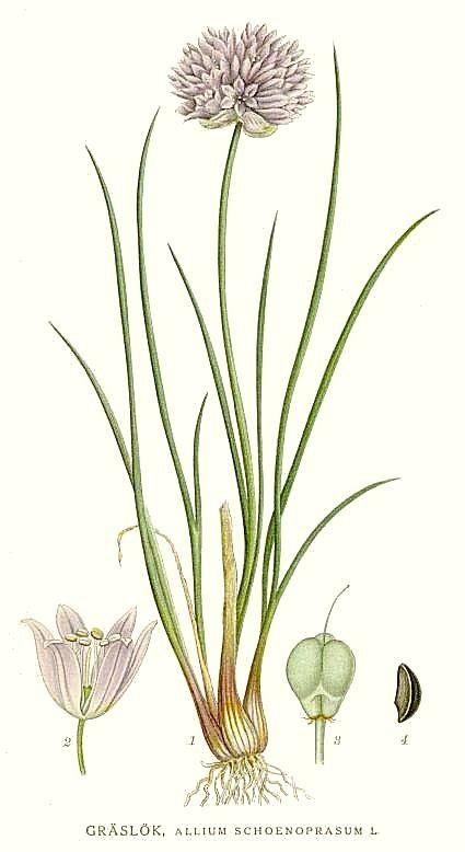 Botanical drawing of chives