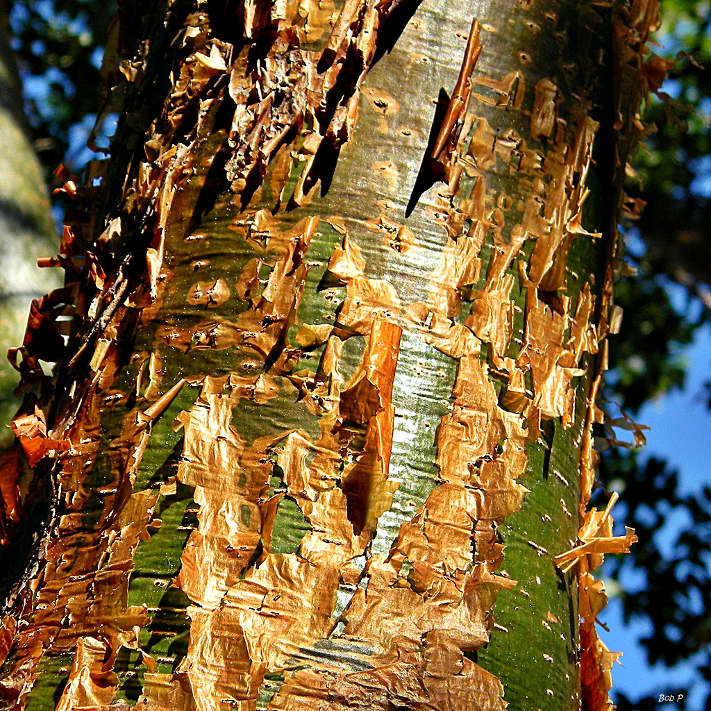 Bark of Gumbo limbo tree