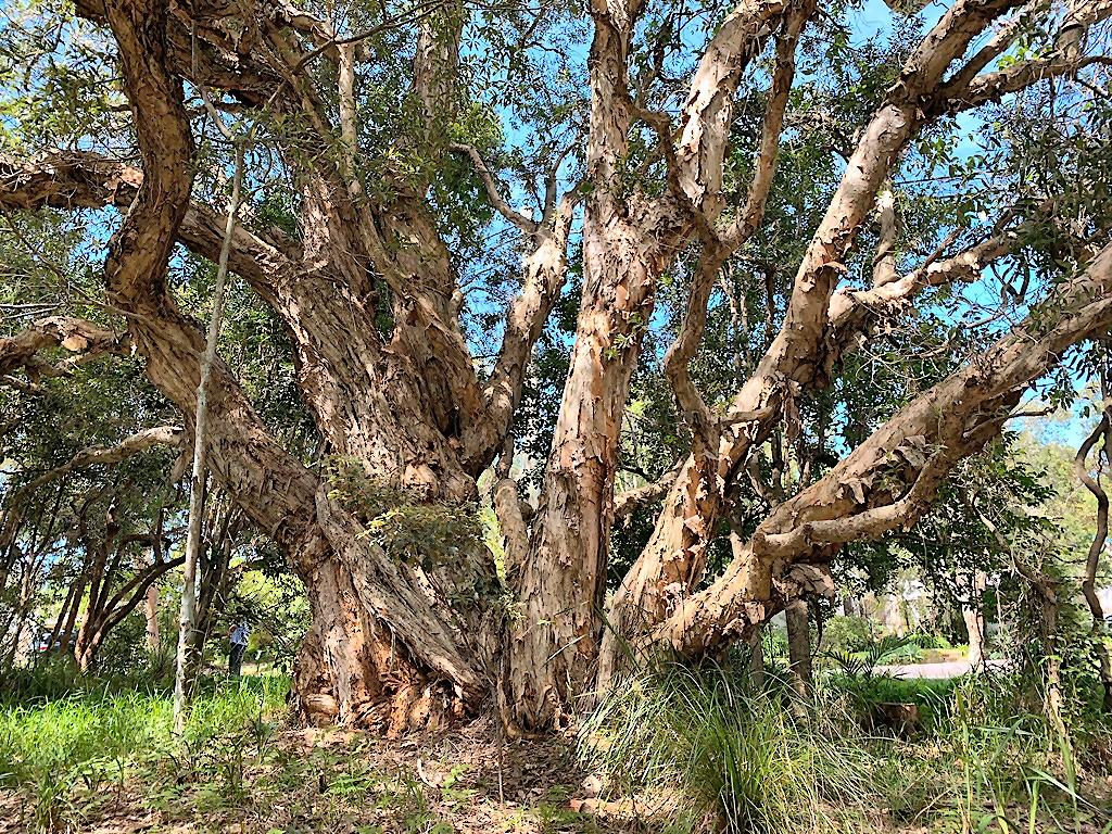 Bark of paperbark tree