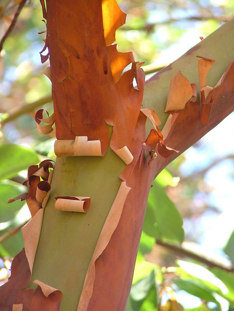 Bark of Pacifice madrone