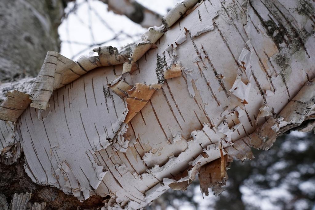 Bark of paper birch