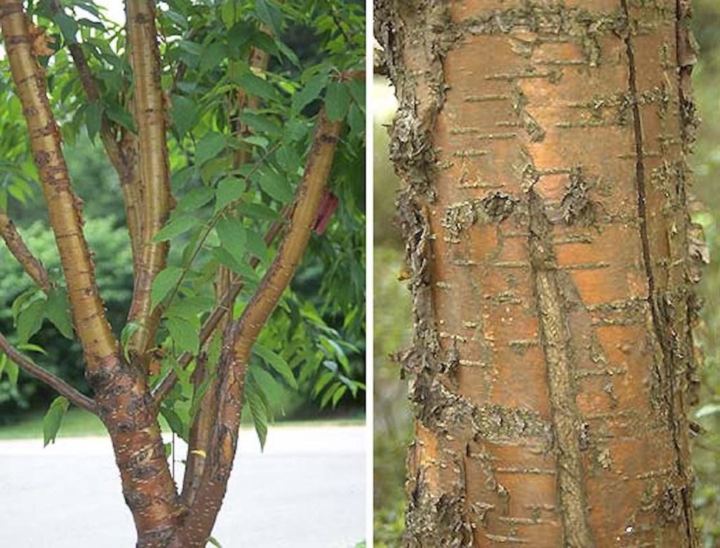 Bark of Amur cherry