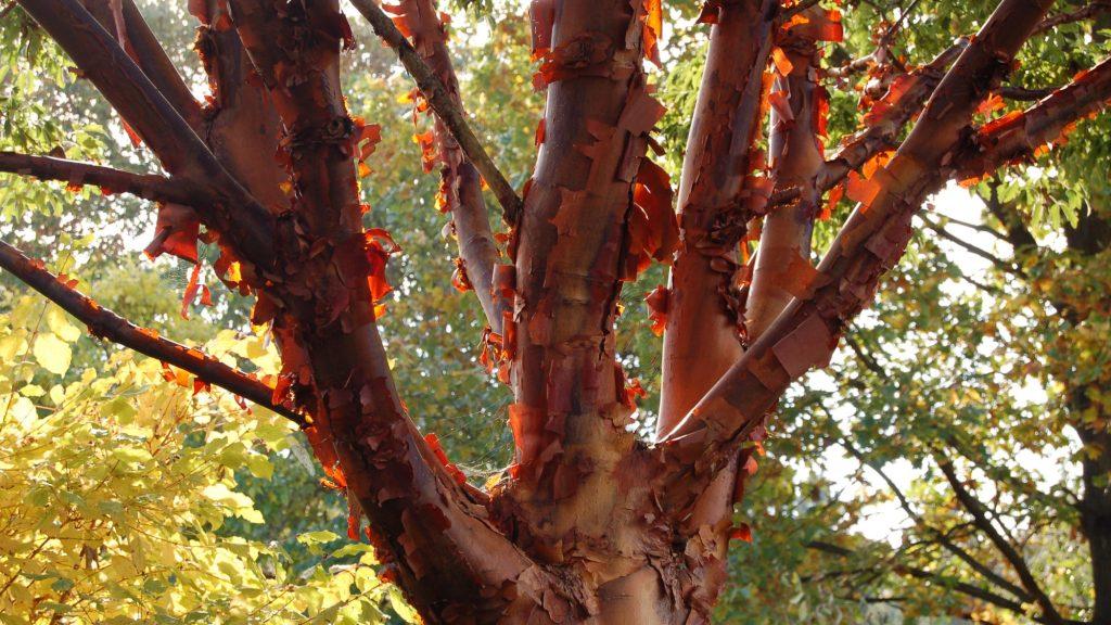 Bark of paperbark maple