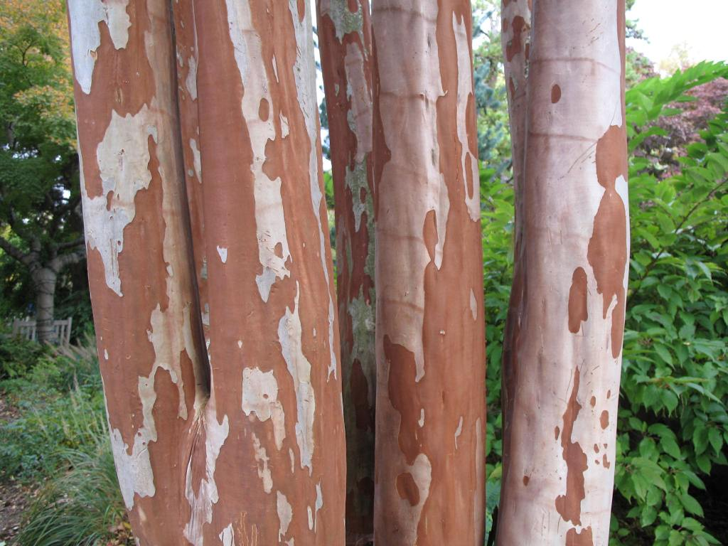 Bark of crepe myrtle.