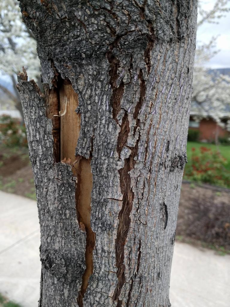 Bark damaged by snowplow