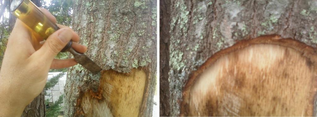 Cleaning up damaged bark