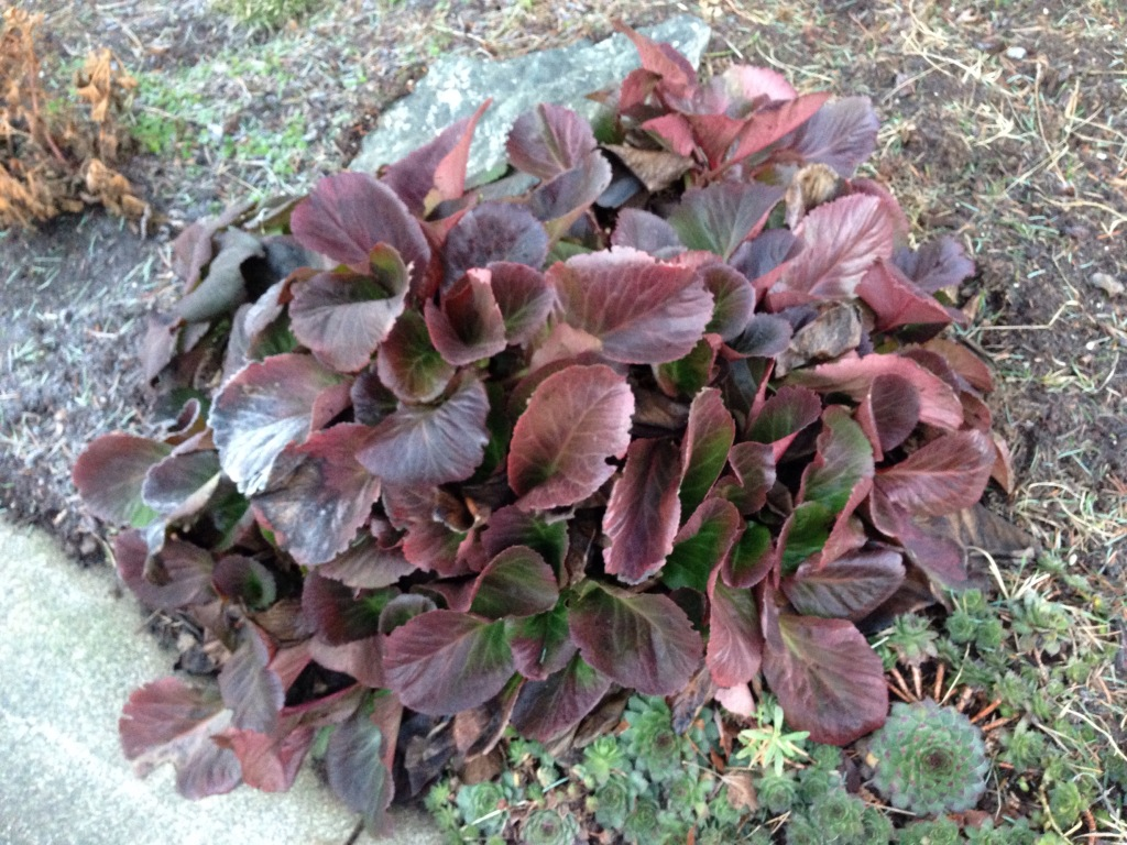 Bergenia 'Bressingham Ruby' with purple leaves