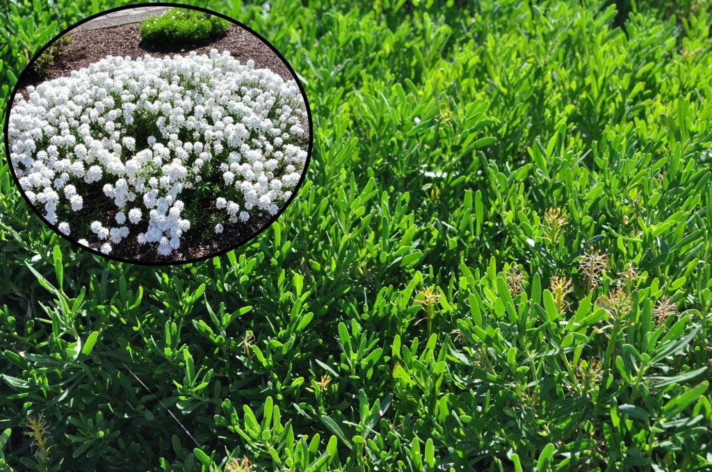 White spring flowers (insert) on background of evergreen leaves, Evergreen candytuft (Iberis sempervirens)