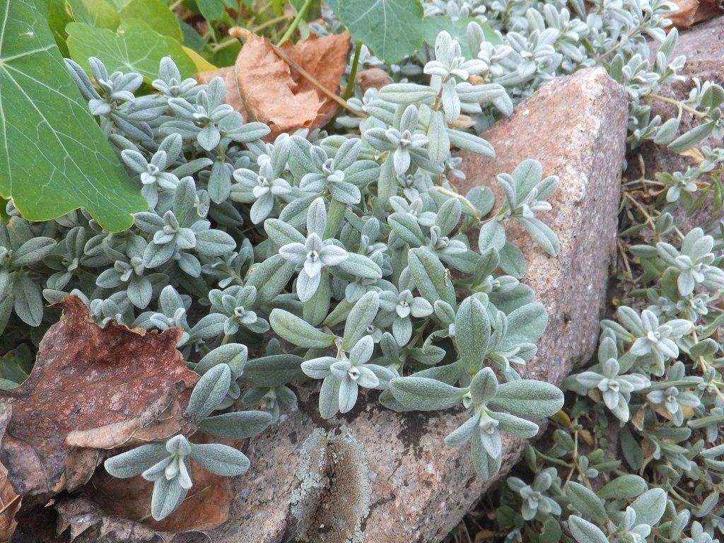 Silver leaves of Cerastium tomentosum