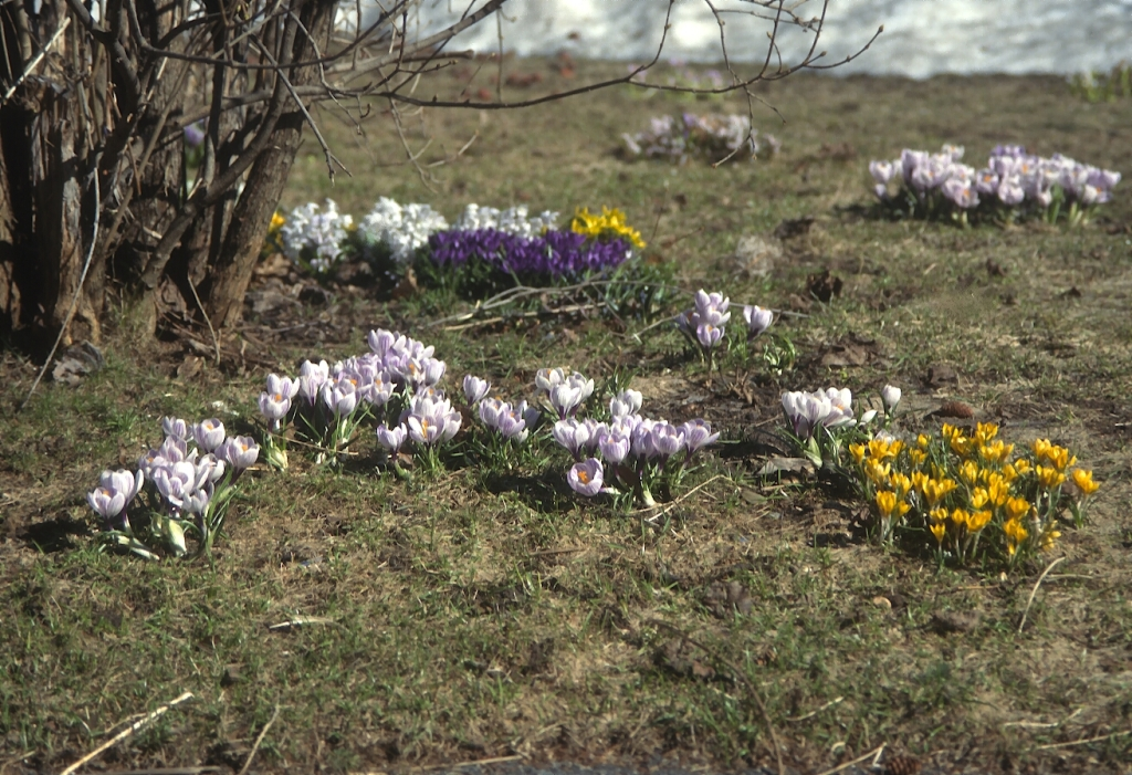 Different colored crocuses in a lawn.