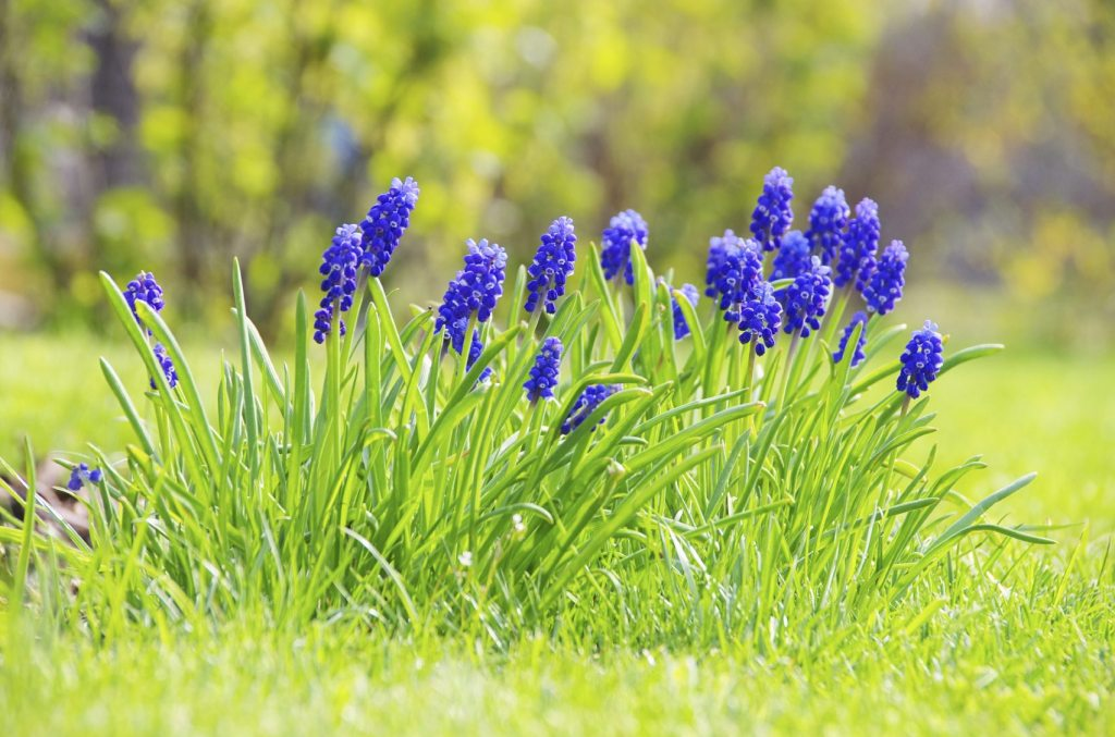 Grape hyacinths in bloom in lawn