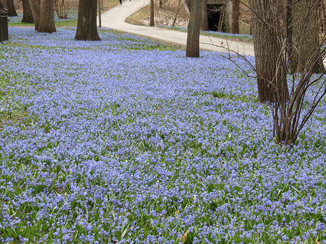 Carpet of sibérien squills in a park.
