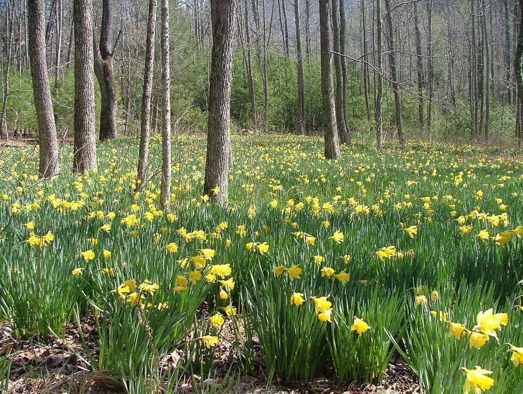 narcissus naturalized in a forest