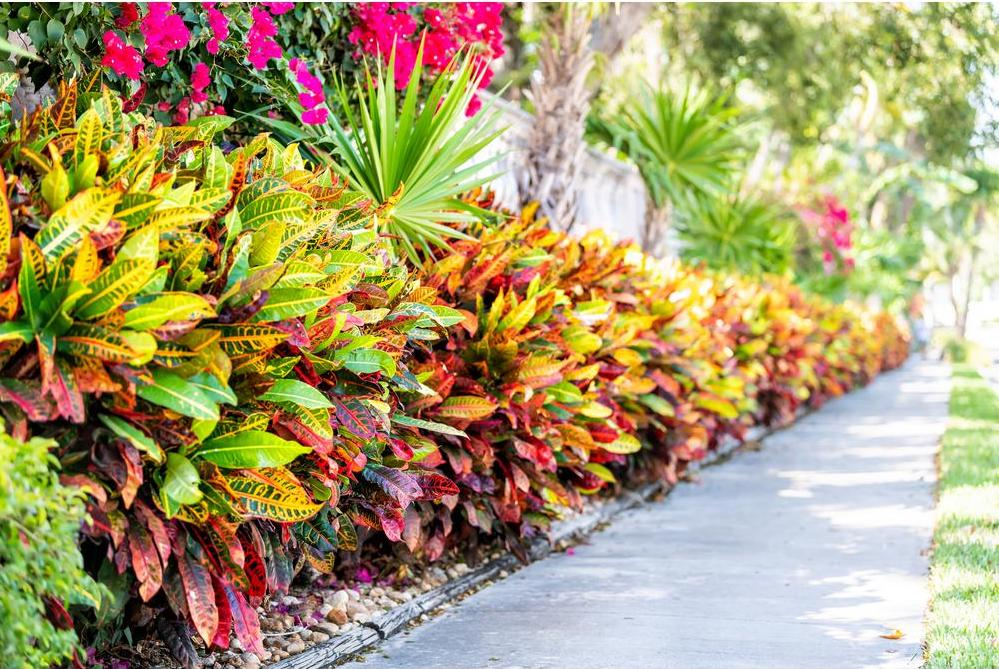 Hedge of colourful crotons