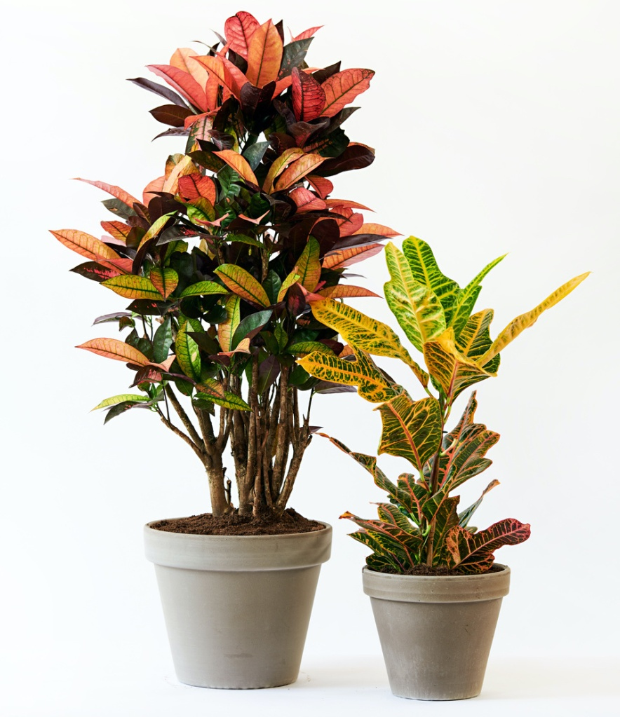 Two crotons in pots, a tall one and a shorter one.