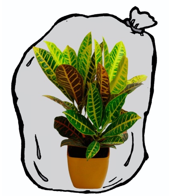 Croton in a plastic bag