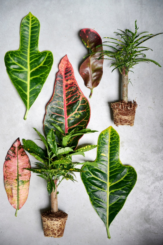 Different colors and forms of croton leaves.