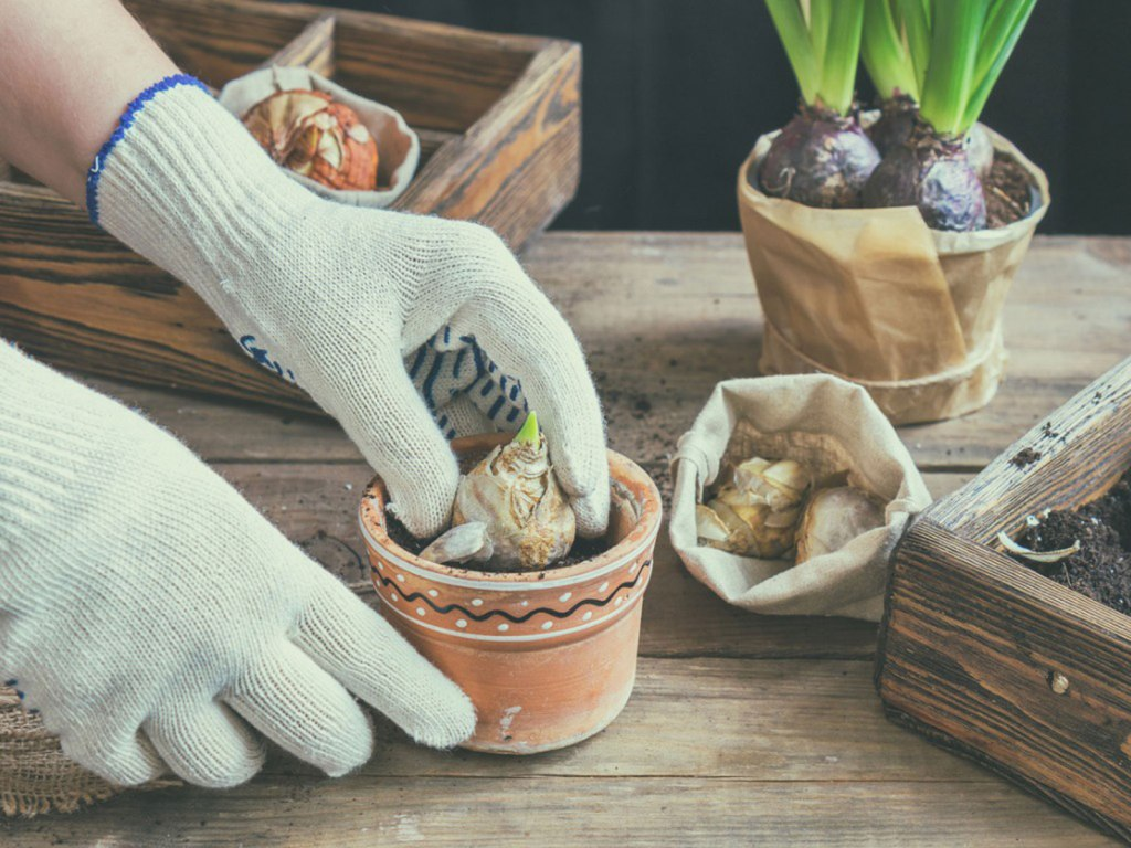 Wearing gloves while handling hyacinth bulbs