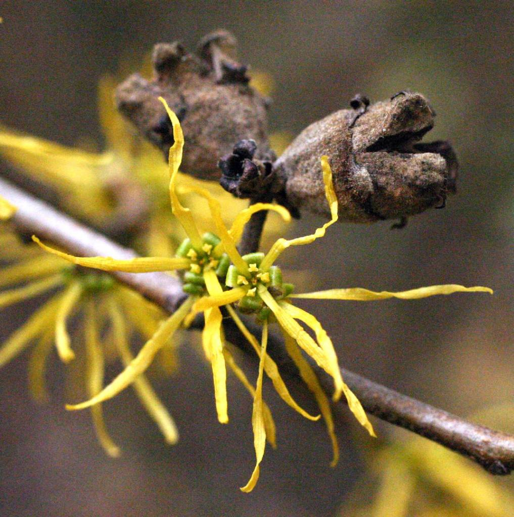American witch-hazel yellow flowers and brown seed capsules