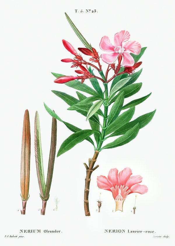 Botanical illustration of Nerium oleander showing flowers, leaves and seed capsules.