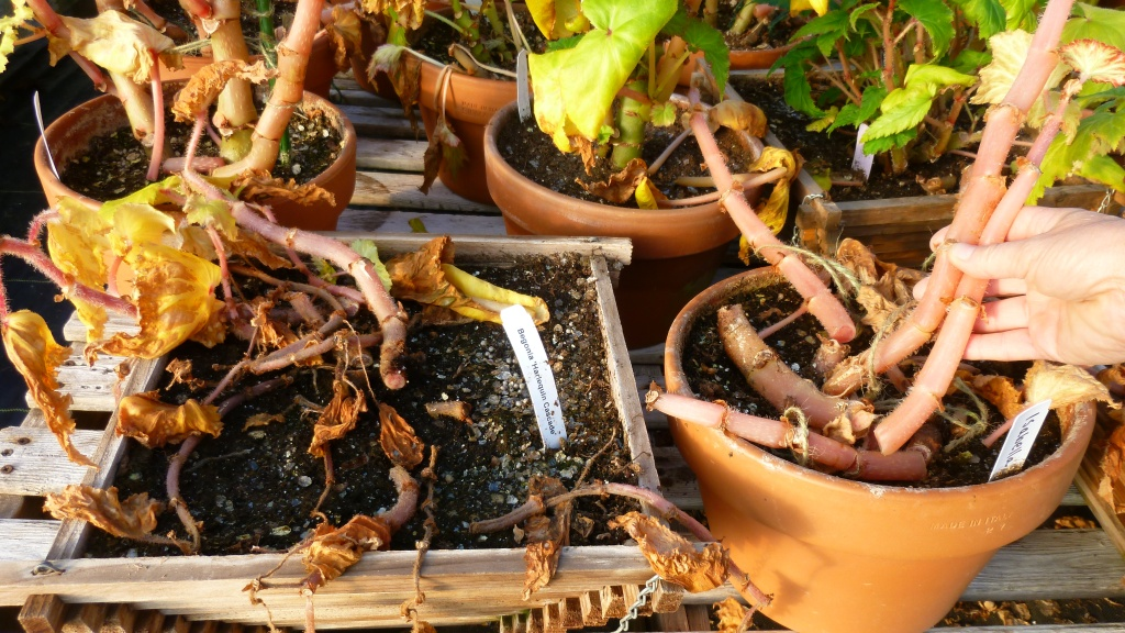 Tuberous begonias dried indoors, stems coming free.
