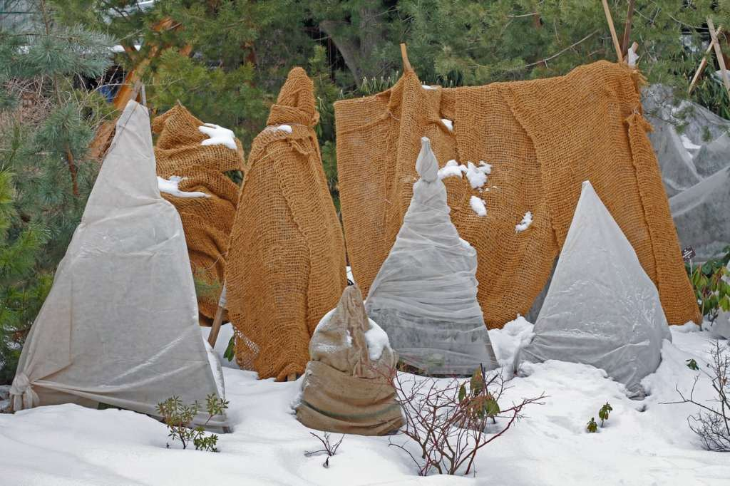 Shrubs wrapped in geotextile for the  winter.