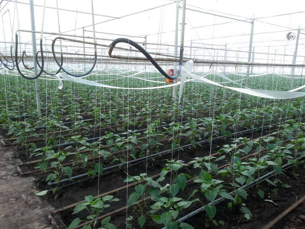 Large-scale greenhouse planting of pepper plants.