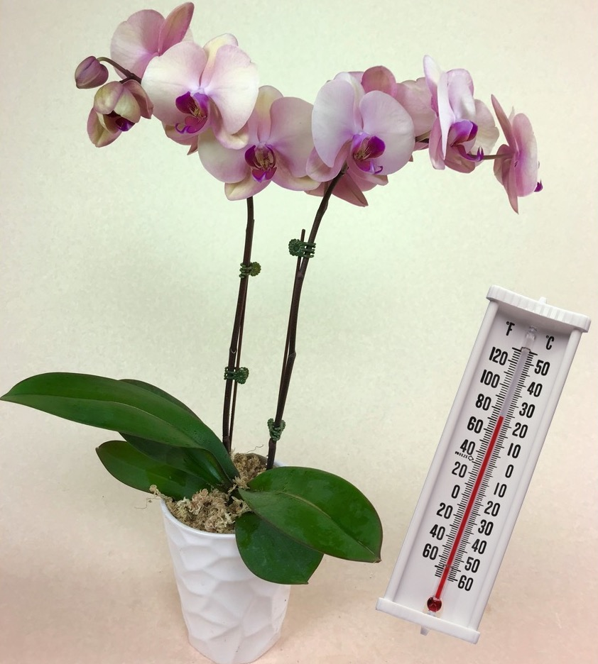 Hybrid phalaenopsis and thermometer