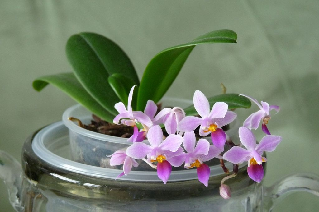 tiny orchid Phalaenopsis equistris