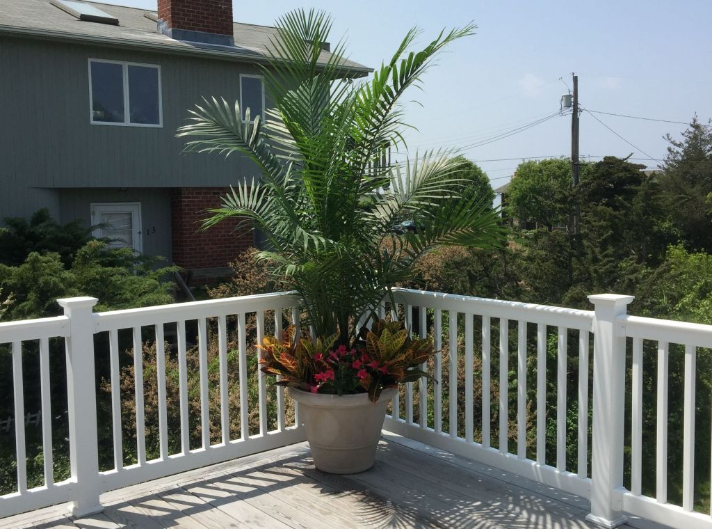 Majesty palm on a deck.