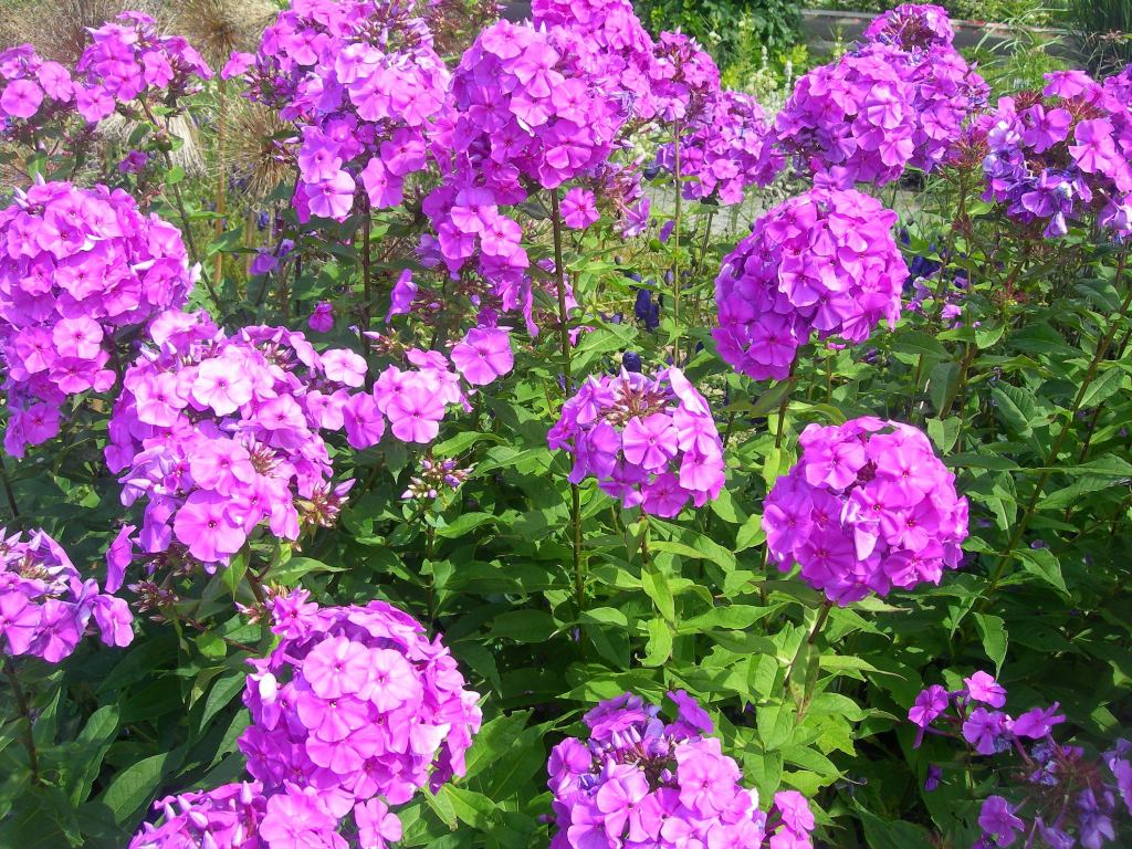 Phlox paniculata in flower