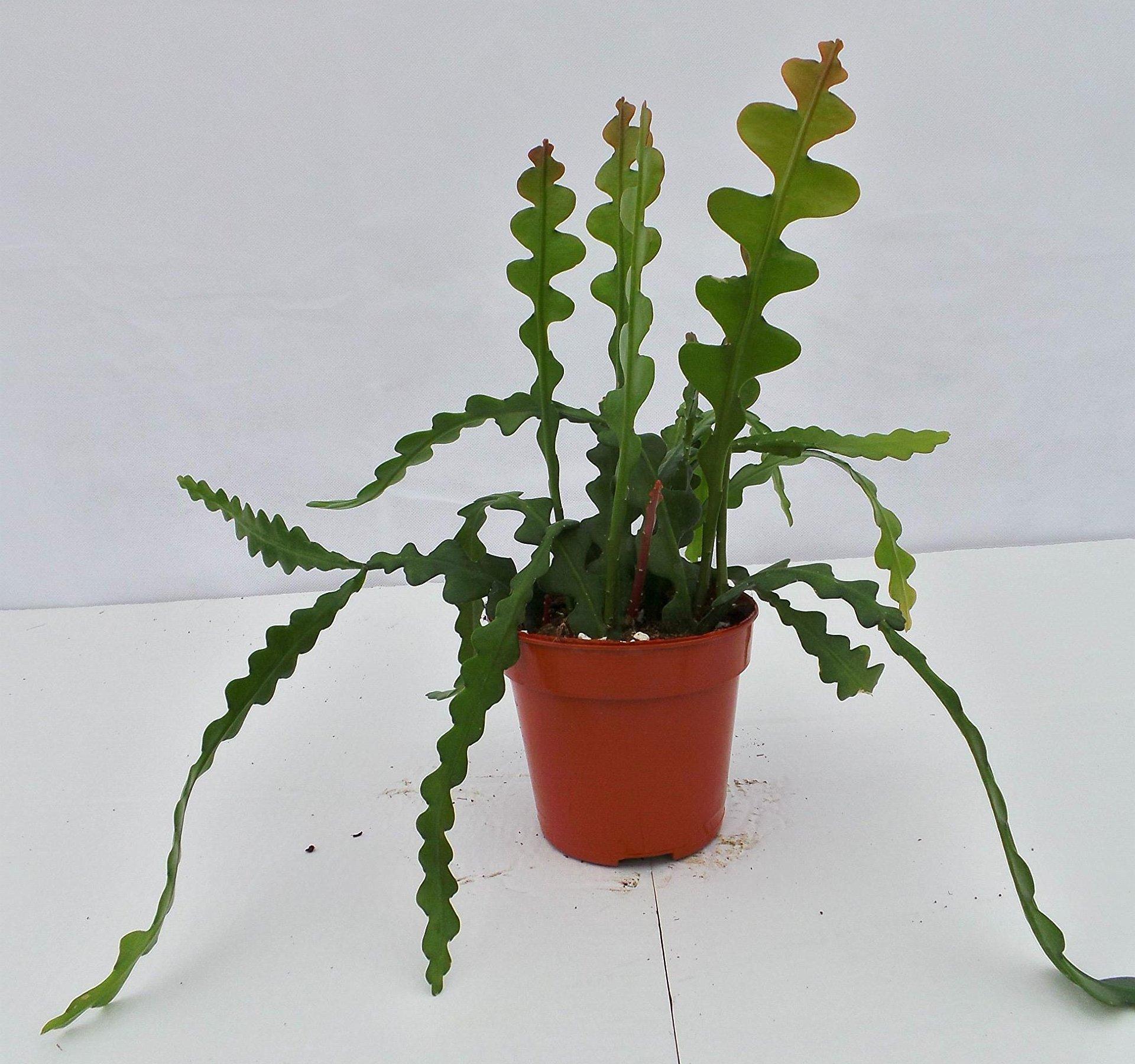 Fishbone Cactus Cutting Rare Cactus Epiphyllum Transplant House Plant Orchid Cactus Zig Zag Cactus Ric Rac Cactus Epiphyllum Anguliger