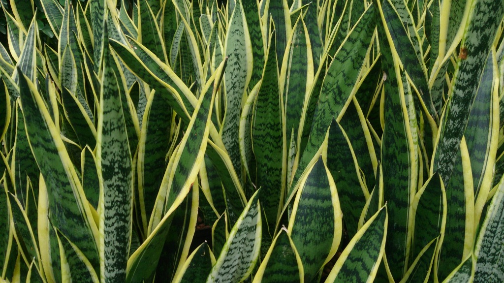 Sansevieria trifasciata 'Laurentii', with its yellow banded leaves