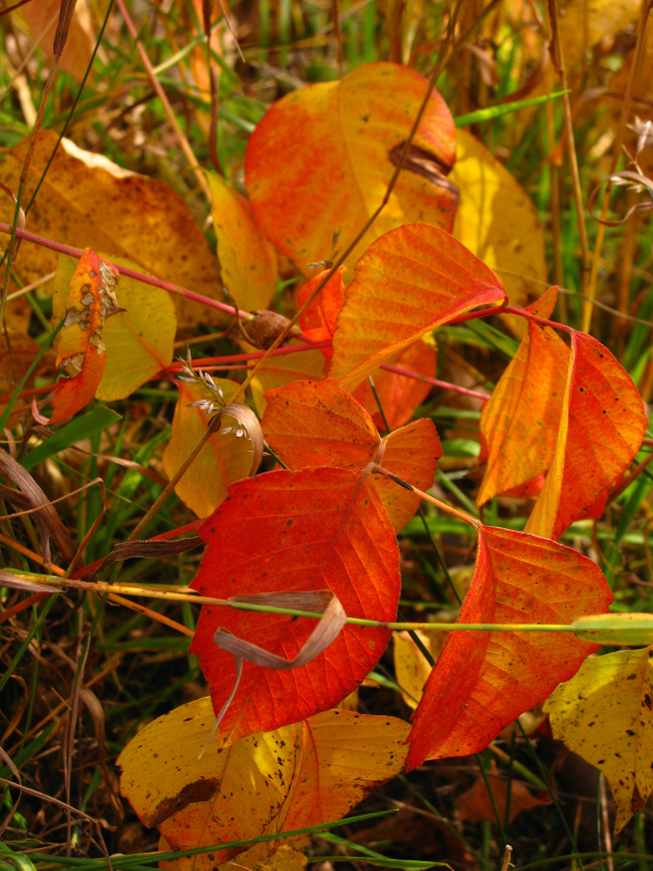Poison ivy with orange leaves