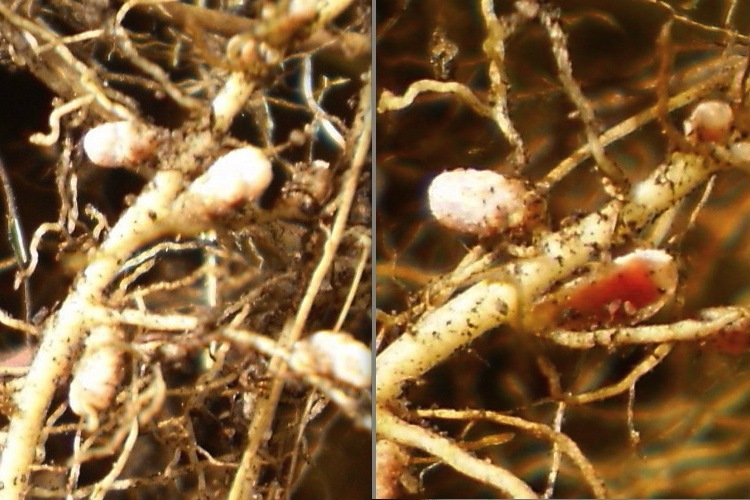 Nodules on clover roots.