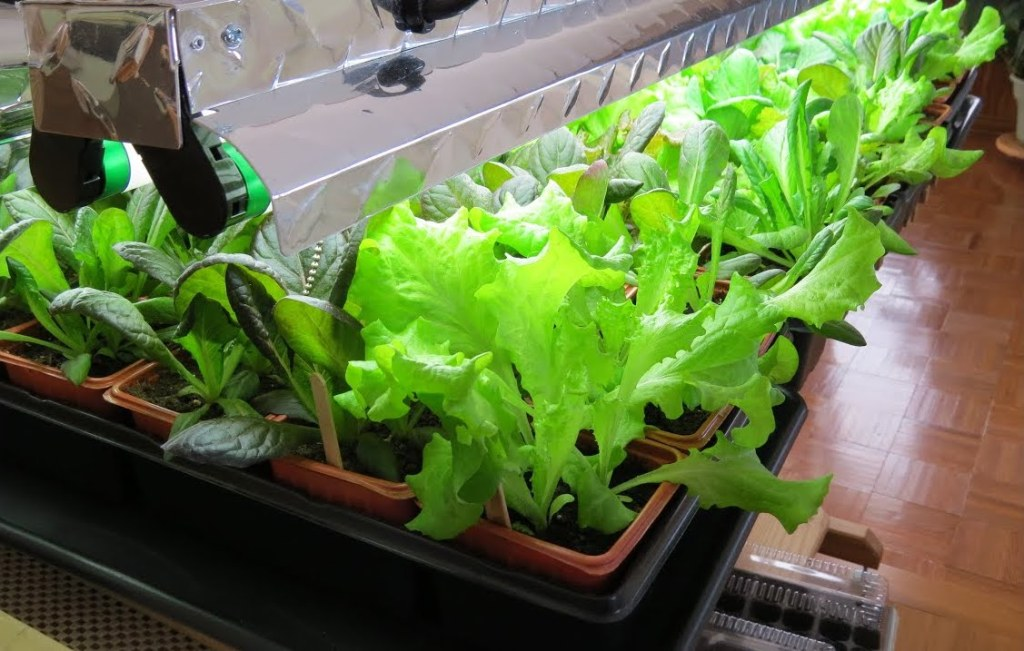 Leafy vegetables growing under lights.