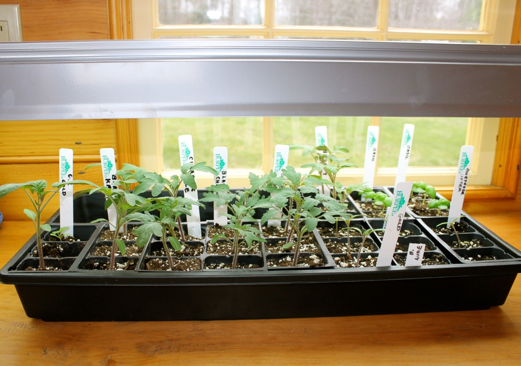 Tray of tomato seedlings under lights near a window.