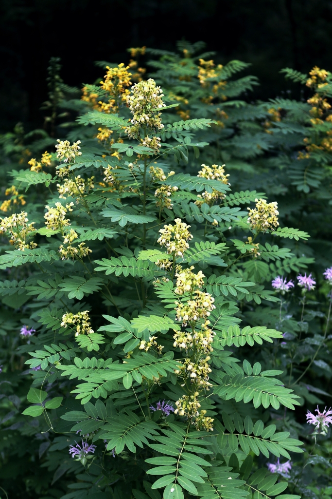 Stems of Maryland senna in bloom.