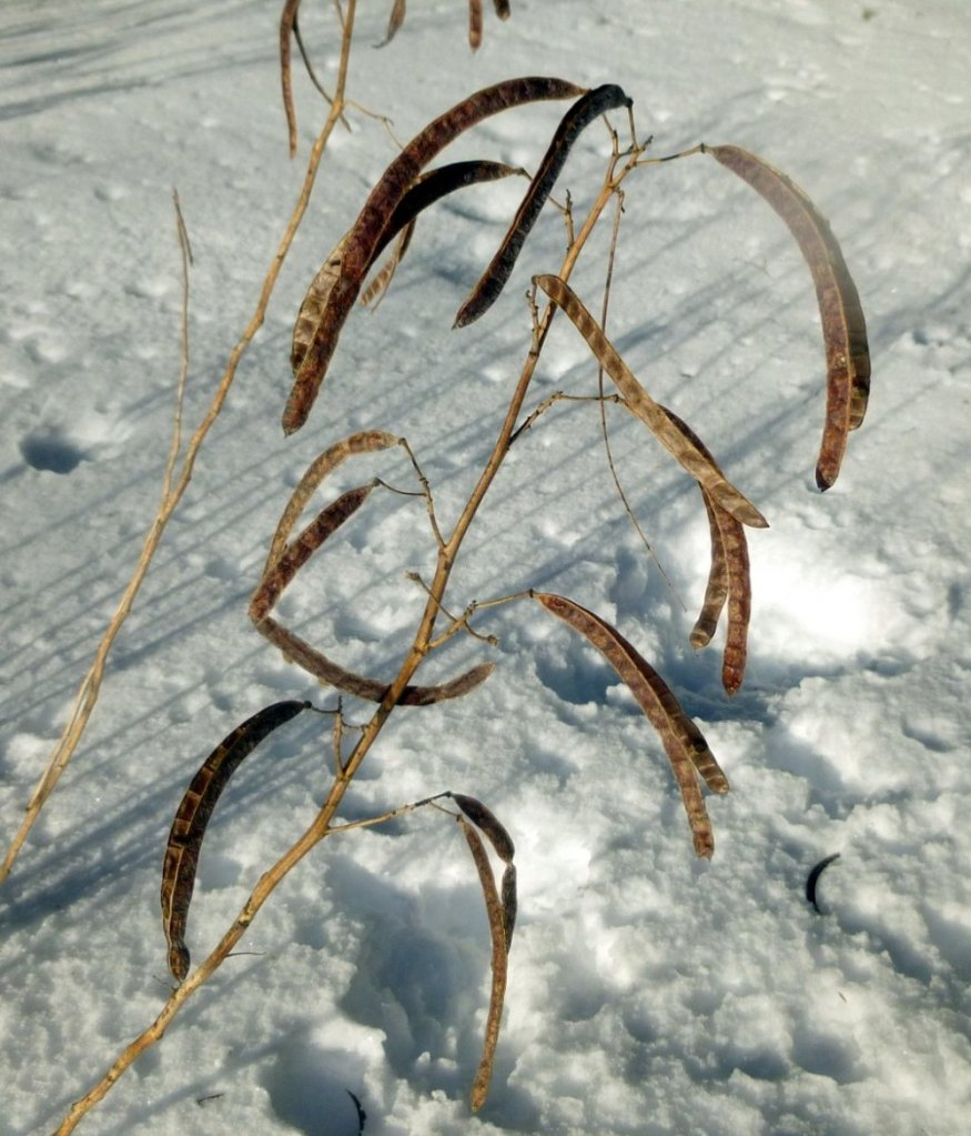 Seed pods of wild senna in winter.