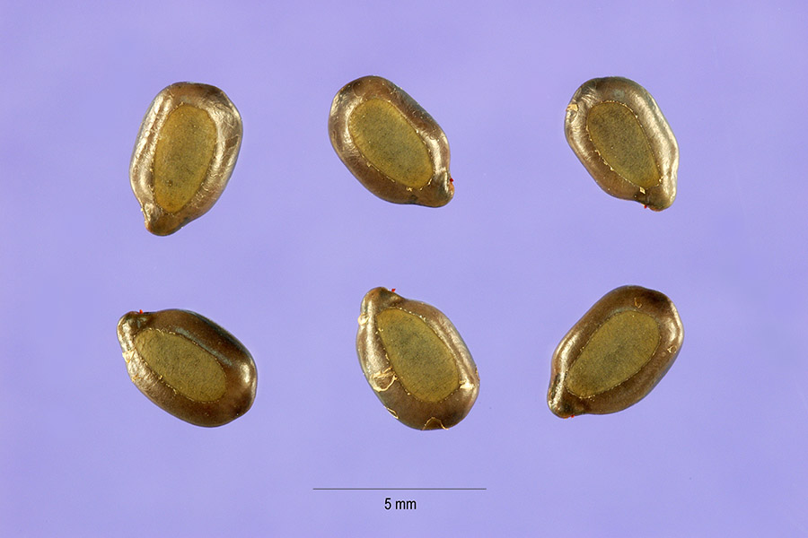 Seeds of Maryland senna