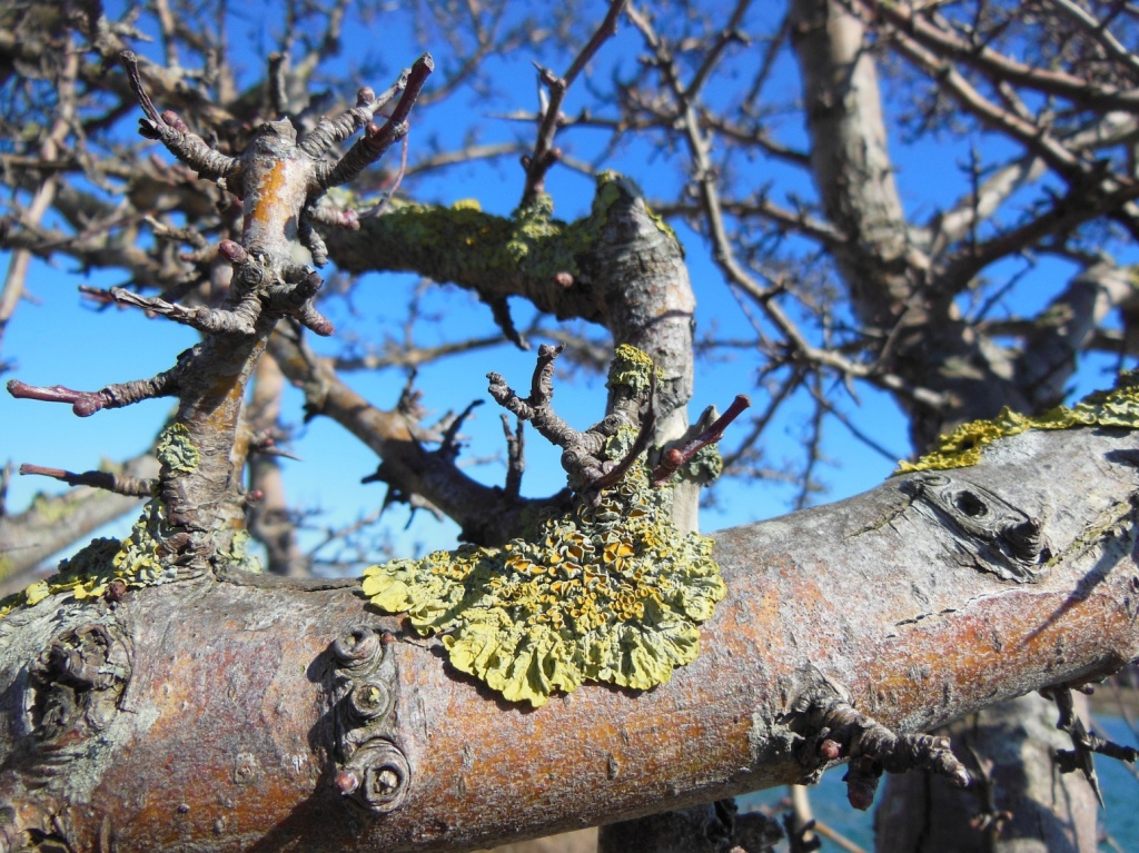 Lichen on apple tree bark.