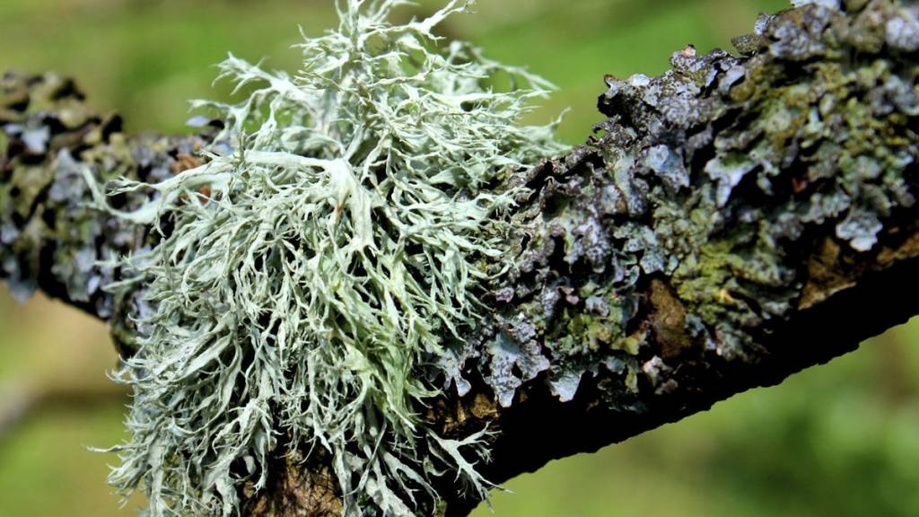 Various lichens on a branch