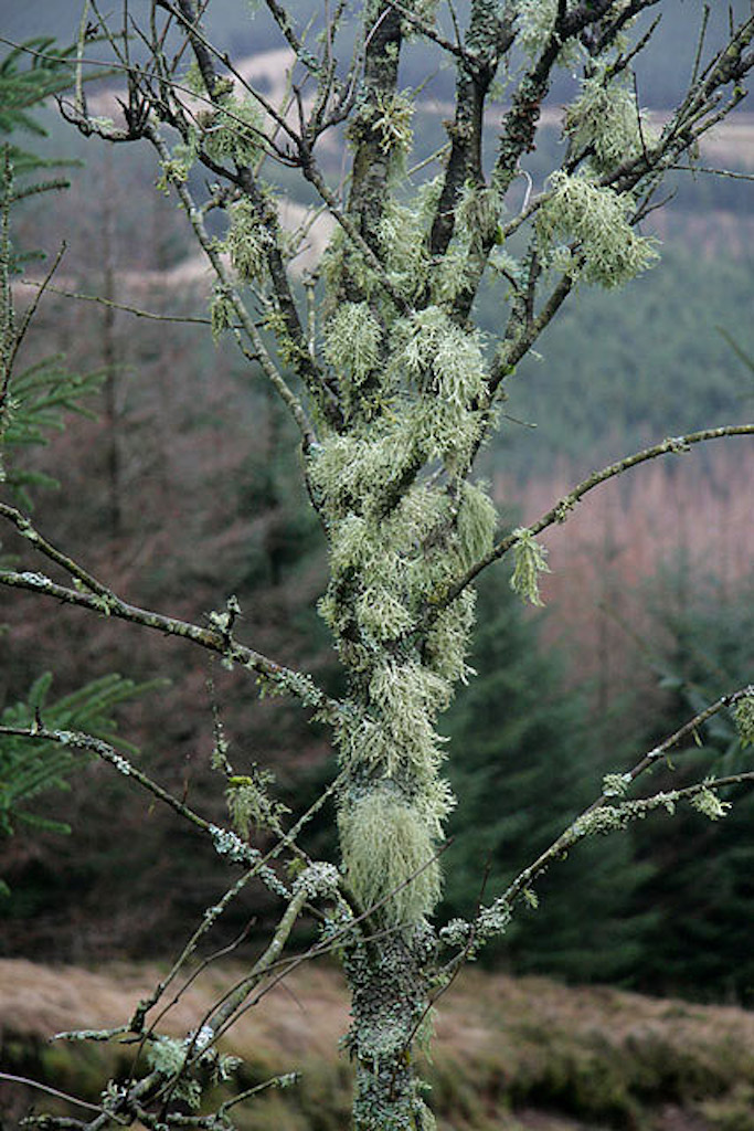 Dead tree covered in lichens.
