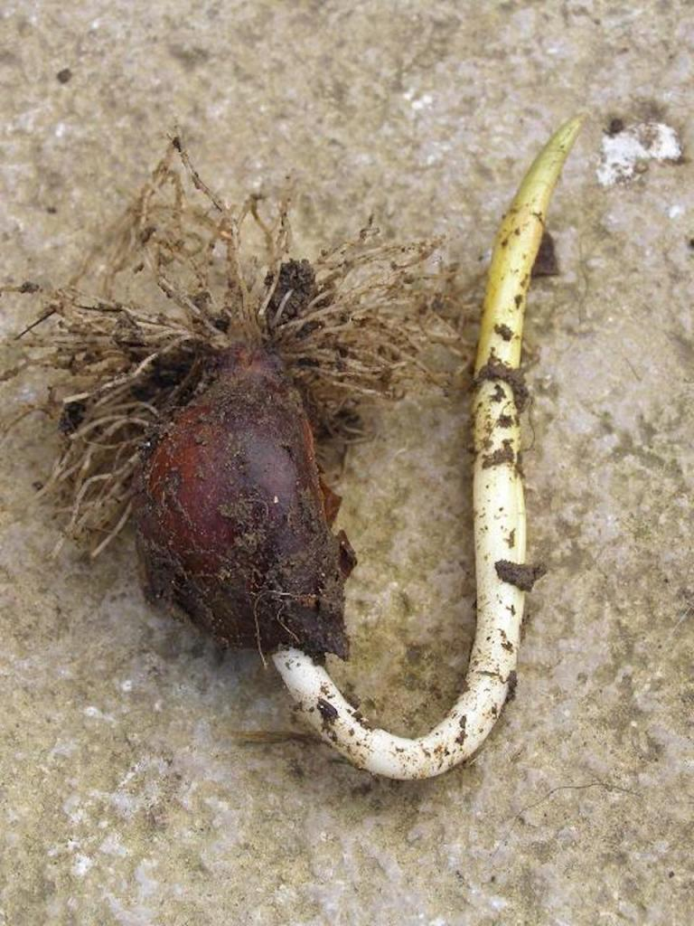 Tulip bulb upside down, roots on top and flower stalk redirected towards top.