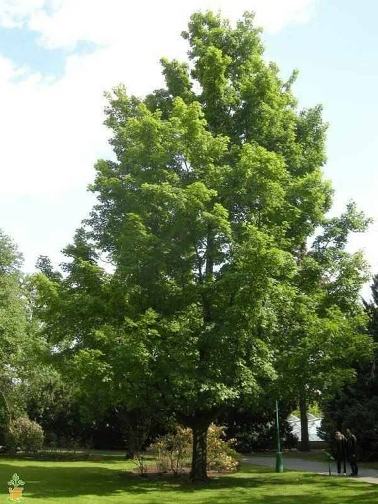 Large silver maple in park