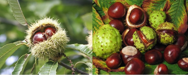Photos showing edible chestnuts and poisonous horse chestnuts.